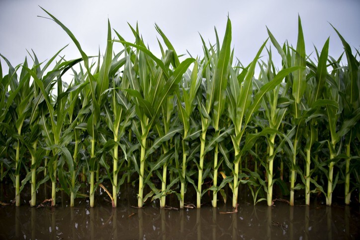 Standing water surrounds corn plants at the edge of a field in Illinois, U.S. Photographer: Daniel Acker/Bloomberg