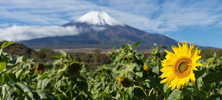 sunflowers in front of Mount Fuji